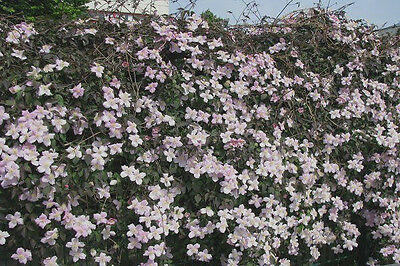 Waldrebe Clematis montana Rubens 60-100cm Frühlingsblüher