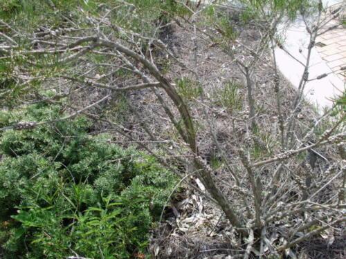 Callistemon Pinifolius 15 Grün oder Kiefer Leaved Bottlebrush Samen