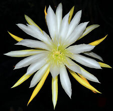 Foglio EPIPHYLLUM pianta Cactus: * Star Flight *