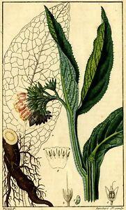 Decoration-Botanique-Consoude-Jean-Francois-Turpin-Gravure-originale-XIXe