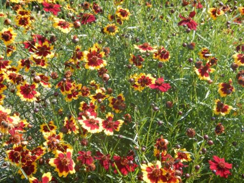Färber-mädchenauge jaune-mahagonifarbene fleurs Färber plante coreopsis tinctoria