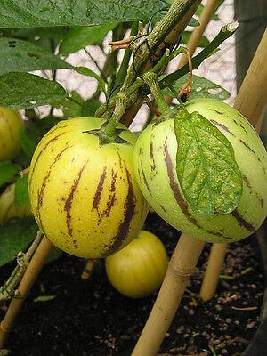5 graines POIRE-MELON PEPINO DULCE Solanum Muricatum G57 MELON PEAR SEED SEMILLA