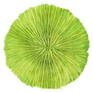 Corail fungia fungites vert - Taille 8 à 10 cm