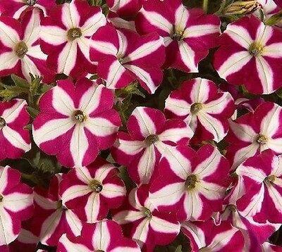 ~  Easy Wave BURGUNDY STAR  *  Trailing Petunia *  20 Pelleted Seeds
