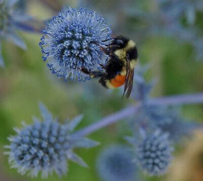 Eryngium planum ' Blue Glitter* seed