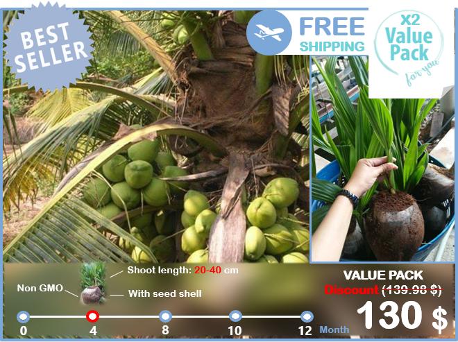 2x Coconut Dwarf Palm seed with shoot Tropical Fruit Fagrance juice Tree Tropic