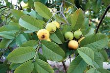 5 Lemon Guava Seeds Tasty Sweet Tropical Fruit