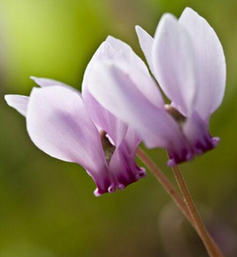 5 Samen Alpenveilchen, (Cyclamen hederifolium), winterhart, Blüte bis zum Winter