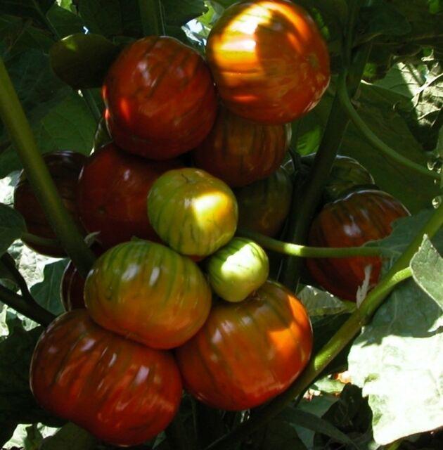 Solanum aethiopicum African eggplant 10+ seeds