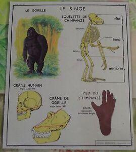 Old-Map-Carte-Expo-Squelette-de-Singe-Chimpanzee-Crane-Humain-et-Gorille-Bambou