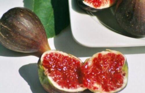 BLACK Figuier boutures shengjinas variété Ficus carica auto-fertile 4