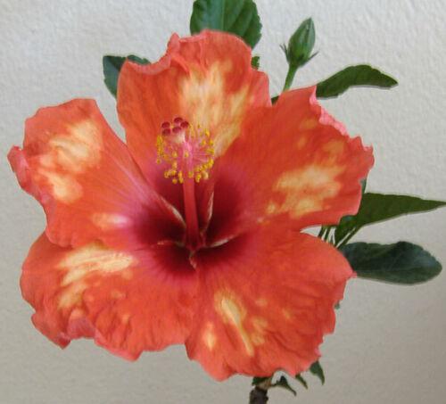 Hibiscus American Splendor,2xrootless cuttings