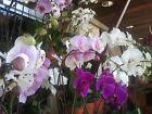 MYSTERY* PHALAENOPSIS MOTH ORCHID 2 LIVE PLANTS