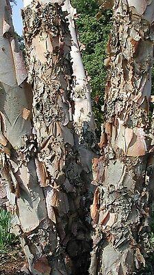 idéal pour bonsaï utiliser pour graines rares BETULA Nigra River bouleau Rose écorce