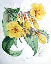 Dipladenia harrisii, van houtteano Doble Tamaño Antiguo botánico impresión c1850