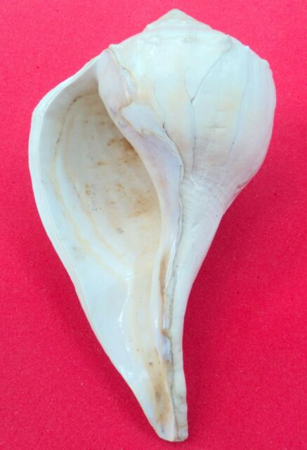Rare Big Size Dakshinavarti Conch / Dakshinavarti Shankha / Right handed Conch