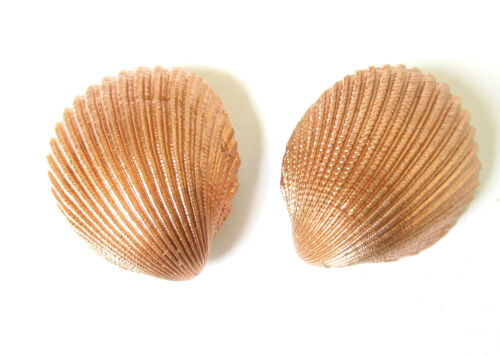 2x Gold Silver or Bronze Real Sea Shell Hair Clips Mermaid Boho Slides Beach M02