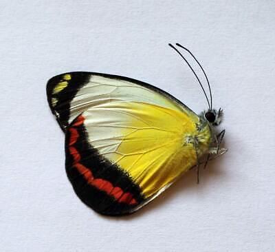 DELIAS EUPHEMIA unmounted butterfly