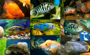 Amazing Assorted South American Cichlid live freshwater ...
