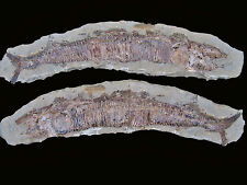 "FOSSIL BONY FISH ""Vinctifer Comptoni"" Highly Detailed Huge 23 INCH Pair - Brazil"