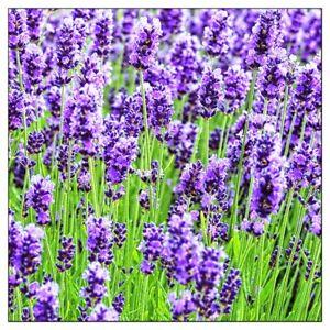 Lavender Seeds Common English   Non-GMO   Fresh Garden Seeds