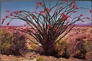 vy0-Postcard-Spring-Brings-Out-Ocotillo-Blooms