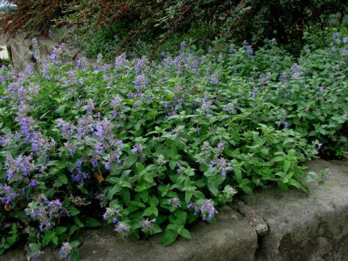 Katzenminze Nepeta faassenii Duftpflanze Bienenweide Sommerblüher