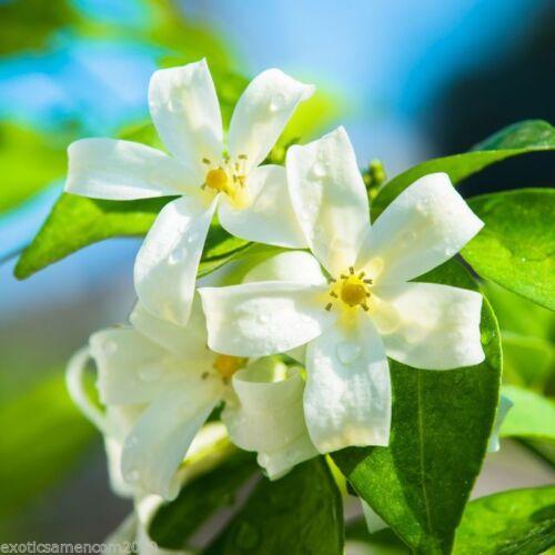 Murraya exotica Orangen Jasmin 10 Samen