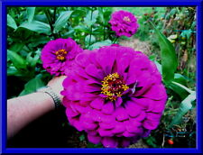 25 Seeds Comb.S//H! Huge Cactus Zinnia GIANT FLOWER HEADS- MANY COLORS