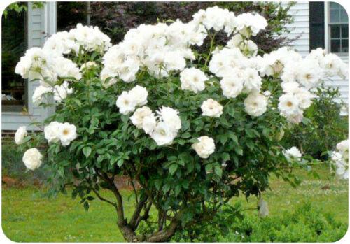 """Rose Bare root /""""ICEBERG/"""" Floribunda double roses blanches parfumées"""