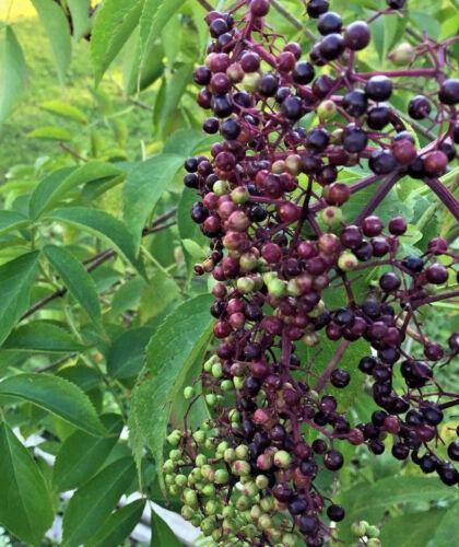 Sambucus 20 Nova Elderberry Seeds