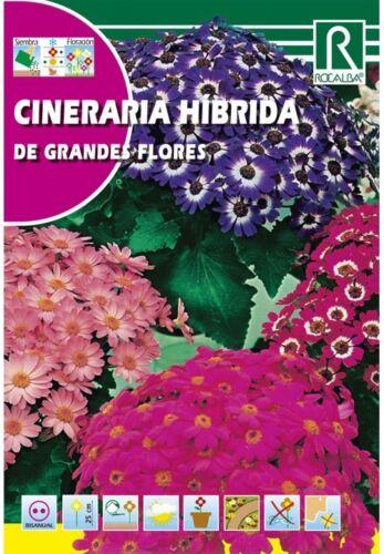 FLORES CINERARIA HÍBRIDA DE GRANDES FLORES