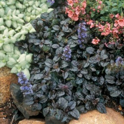 Live Plant Ground Cover Free Shipping Details about  /18 Ajuga xtenorii Mahogany