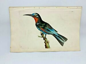 Red-throated Bee-eater - 1783 RARE SHAW & NODDER Hand Colored Copper Engraving