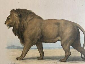 Gravure-ancienne-Lion-L-039-enseignement-par-les-Yeux-Animaux-ecole-primaire-19eme
