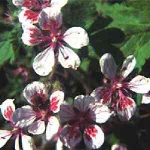 Flower -  Erodium pelargoniiflor<wbr/>um  10 Seeds - Unusual