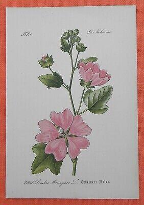 Thüringer Strauchpappel Lavatera Thuringiaca Lithographie 1885 äSthetisches Aussehen
