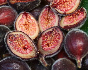 Sandpaper-Fig-Seed-Southernmost-Native-Fig-Evergreen-Bush-Tucker-Medicinal