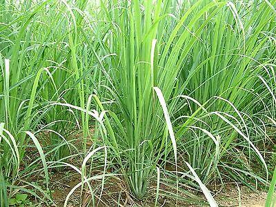1000 Lemon Grass Seeds -Cymbopogon Flexuosus ,Caribbean fever grass, Perennial !