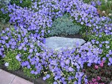 CAMPANULA 'BLUE CLIPS' ~Bellflower, Campanula Carpatica~  25+ Perennial Seeds
