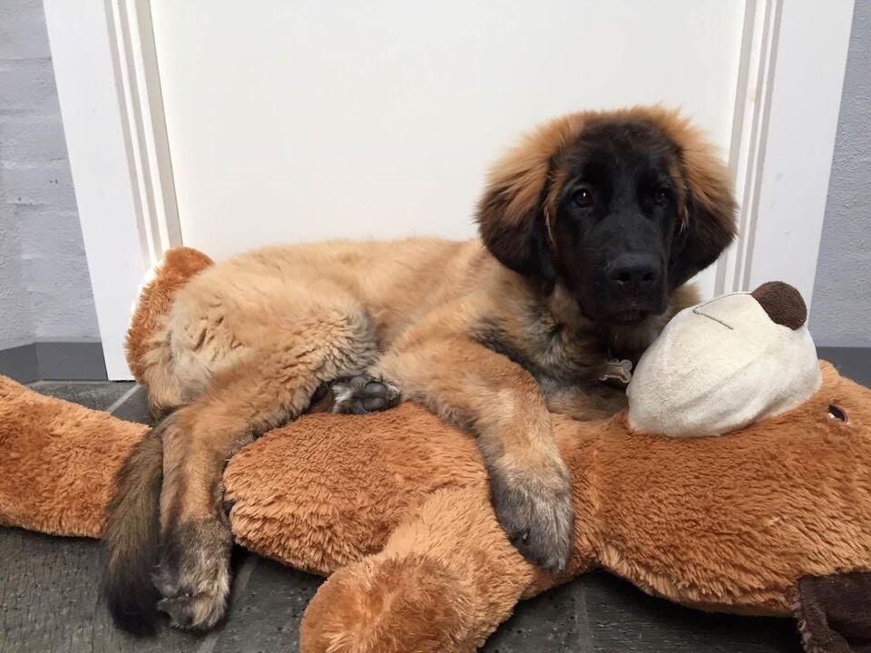 skilsmisse hunde til salg
