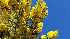 ACACIA DEALBATA 20 semi seeds samen mimosa Silver Wattl