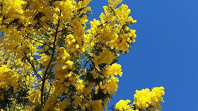Syn.: Acacia tortilis, Mimosa tortilis 25 Samen Vachellia tortilis