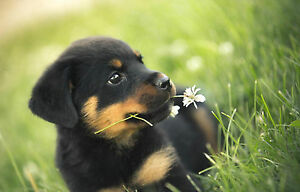 Framed Print Cute Rottweiler Puppy Eating Flowers Picture Poster