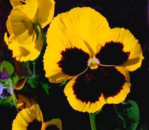 Viola wittrockiana 550 seeds YELLOW with blotch FLOWER Pansy SWISS