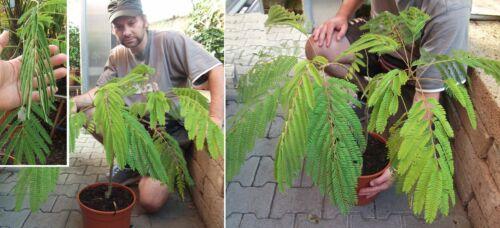 Seidenakazie Samen Deko pflegeleichte robuste Büropflanzen Pflanzen für das Büro