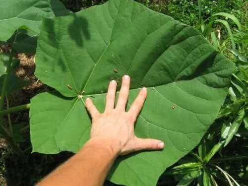 50 graines seeds Paulownia tomentosa