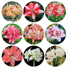5Pcs Mixed Double Amaryllis Bulbs Bonsai Plant Garden Decor Seeds Hippeastrum