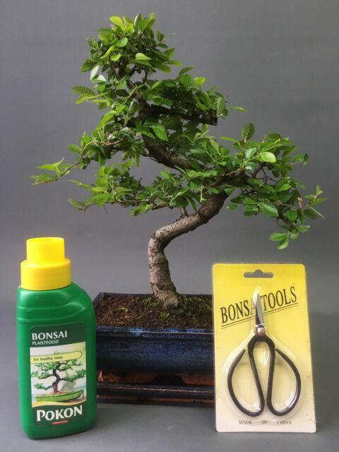 Bonsai Tree 20cm Shaped Chinese Elm