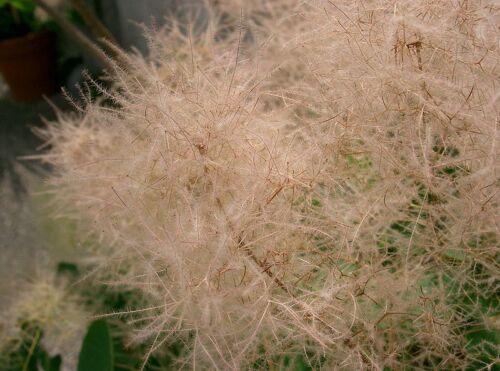 COTINUS COGGYGRIA vq 9x9x20 1Pianta 1 Plant Albero della nebbia Cotino